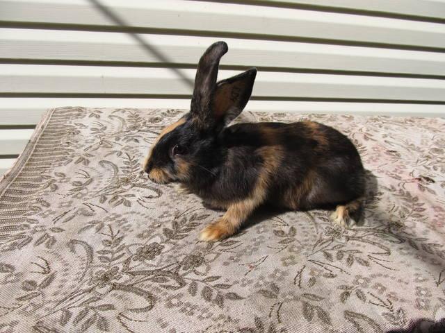 Кролик породы Японский - Страница 2 2762205_m