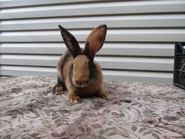 Кролик породы Японский - Страница 2 2762216_m