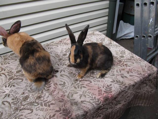 Кролик породы Японский - Страница 2 2762217_m
