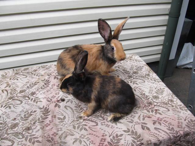 Кролик породы Японский - Страница 2 2762220_m