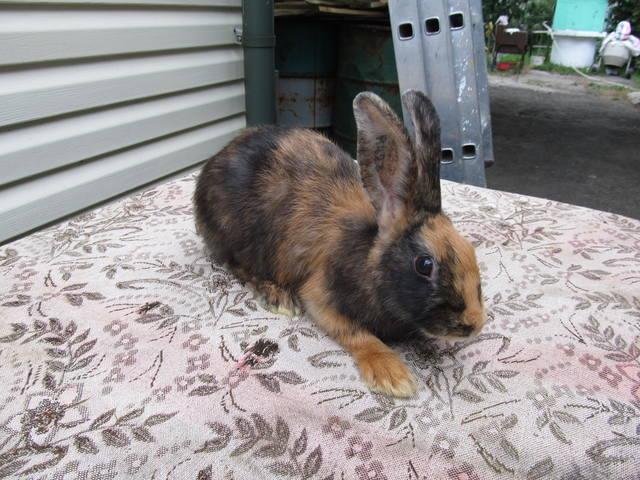 Кролик породы Японский - Страница 2 2762223_m