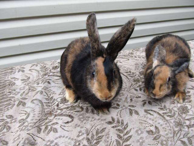 Кролик породы Японский - Страница 2 2762232_m