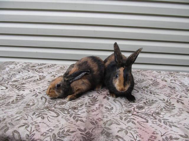 Кролик породы Японский - Страница 2 2762250_m