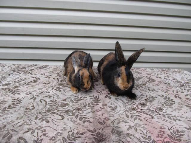 Кролик породы Японский - Страница 2 2762252_m