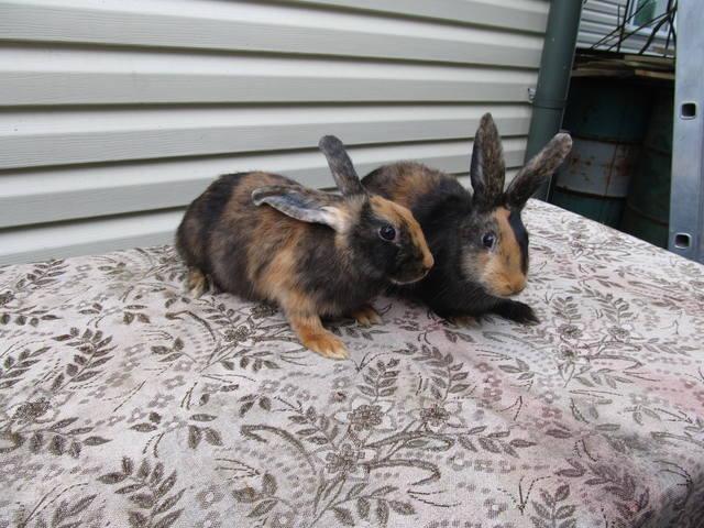 Кролик породы Японский - Страница 2 2762257_m