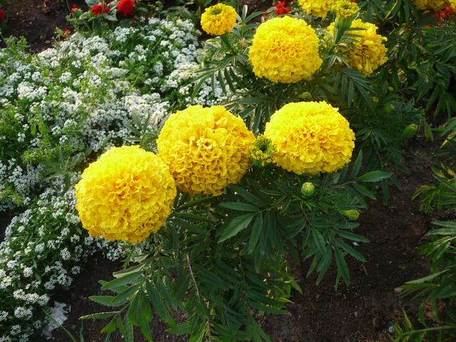 Цветы растущие во дворе названия и фото