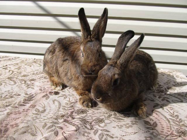 Продам крольчат венского серого две самочки. Пропоены привиты. Возраст 3,5 месяцев. 2843358_m