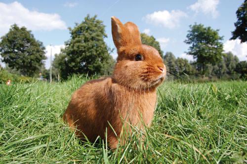 Кролик породы Новозеландский красный. - Страница 5 2889662_m