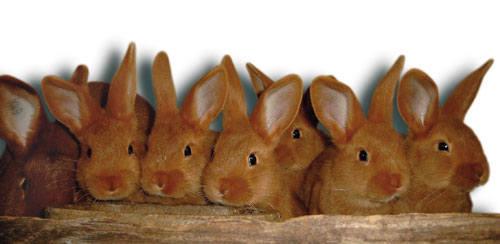 Кролик породы Новозеландский красный. - Страница 5 2889666_m