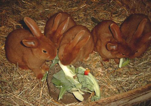 Кролик породы Новозеландский красный. - Страница 5 2889678_m