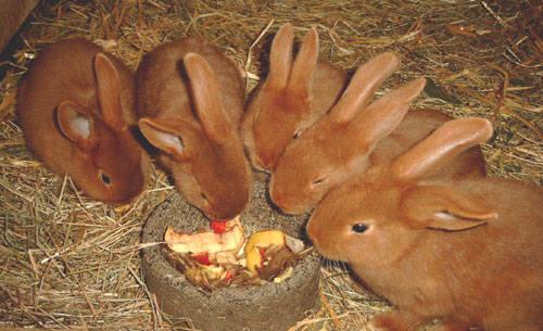 Кролик породы Новозеландский красный. - Страница 5 2889681_m