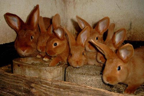 Кролик породы Новозеландский красный. - Страница 5 2889685_m