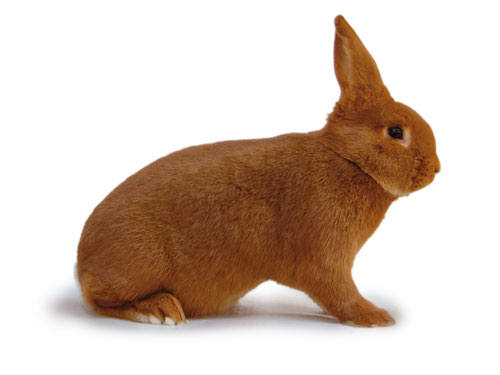 Кролик породы Новозеландский красный. - Страница 5 2889691_m