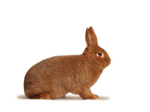 Кролик породы Новозеландский красный. - Страница 5 2889698_m