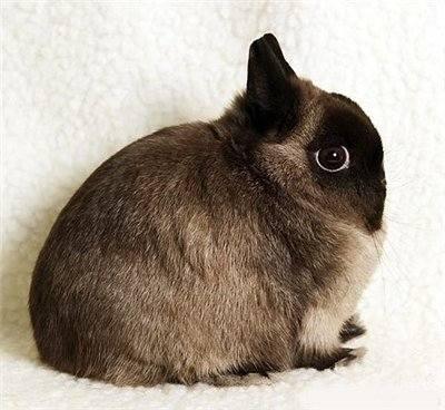 """Кролиководство """"карликовые породы кроликов"""" - Страница 2 3037601_m"""