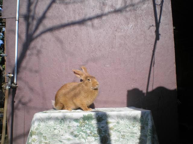 Кролики породы Бургундский - Страница 6 3037917_m