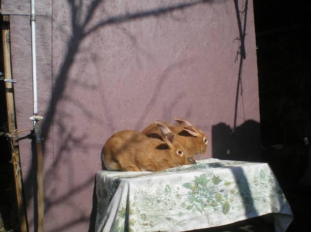 Кролики породы Бургундский - Страница 6 3037924_m
