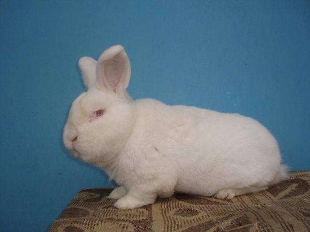 Оптимальный репродуктивный возраст кроликов 3079033_m