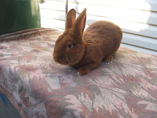 Кролик породы Новозеландский красный. - Страница 6 3253051_m