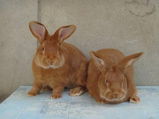 Кролики породы Бургундский - Страница 7 3282266_m