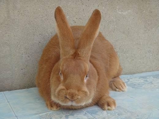 Кролики породы Бургундский - Страница 7 3282264_m