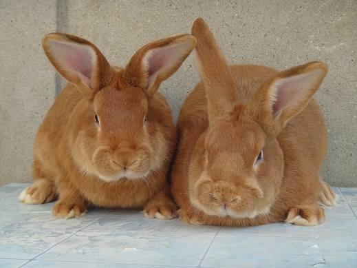 Кролики породы Бургундский - Страница 7 3282268_m