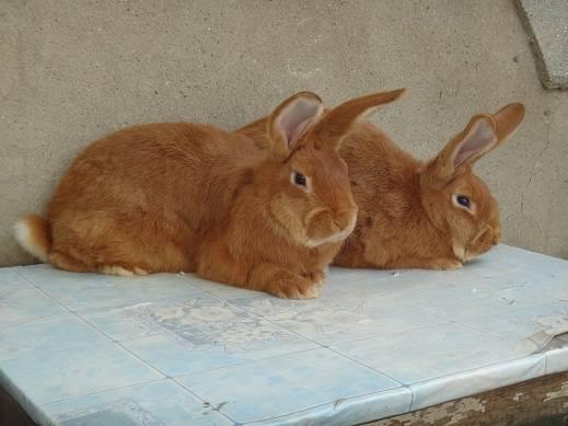 Кролики породы Бургундский - Страница 7 3282269_m