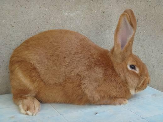 Кролики породы Бургундский - Страница 7 3282265_m
