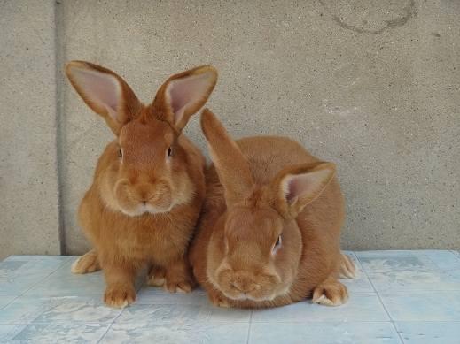 Кролики породы Бургундский - Страница 7 3282267_m