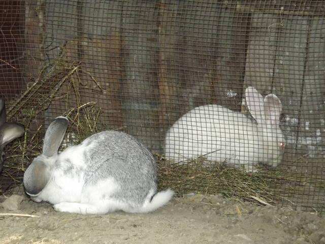 Кролики в вольерах. - Страница 4 3348459_m