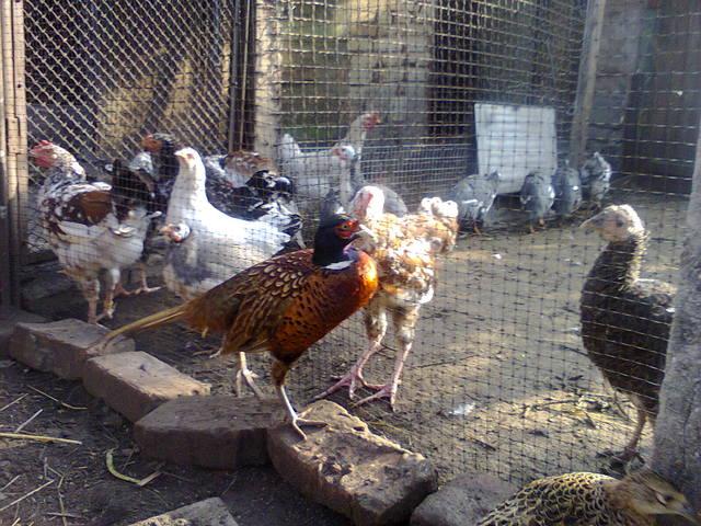 Выращивания фазанов 40