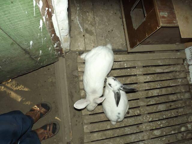 Кролики в вольерах. - Страница 5 3406612_m