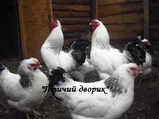 Первомайская порода кур 3442729_m