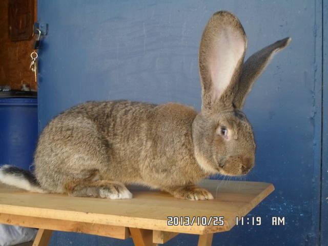 Кролики великаны. 3444148_m