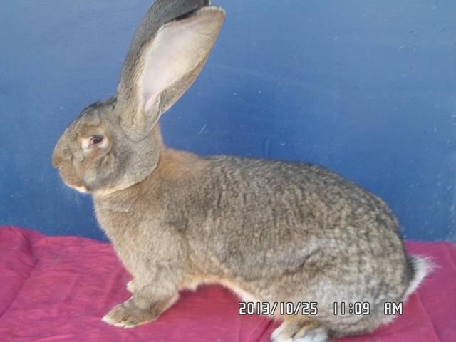 Кролики великаны. 3444160_m