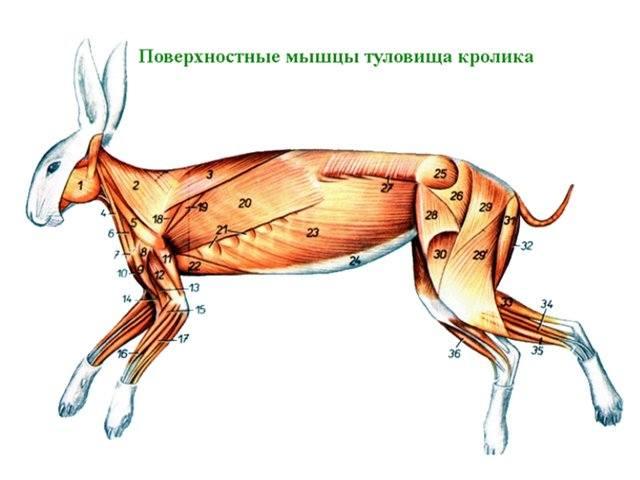 Анатомия кролика. 3445479_m