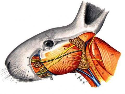Анатомия кролика. 3445501_m