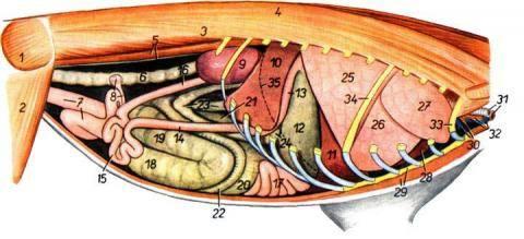 Анатомия кролика. 3445555_m
