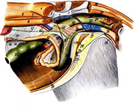 Анатомия кролика. 3445566_m