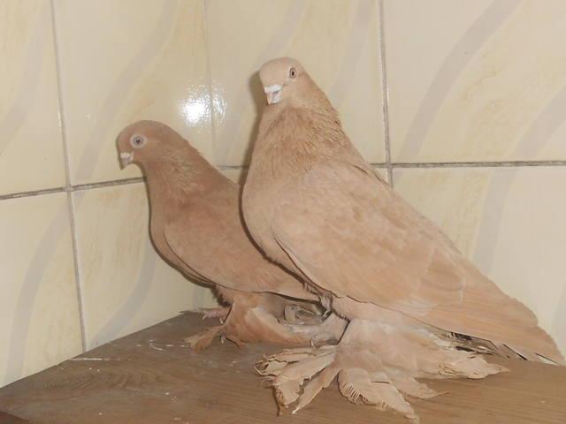 Голуби Асхата (Талдыкорган) - Страница 2 3600490_m