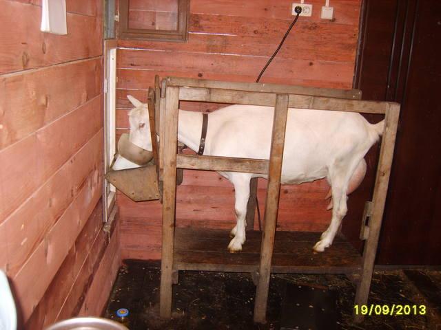 Видео станков для доения козы своими руками