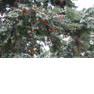 Tаxus baccаta, Тисс ягодный