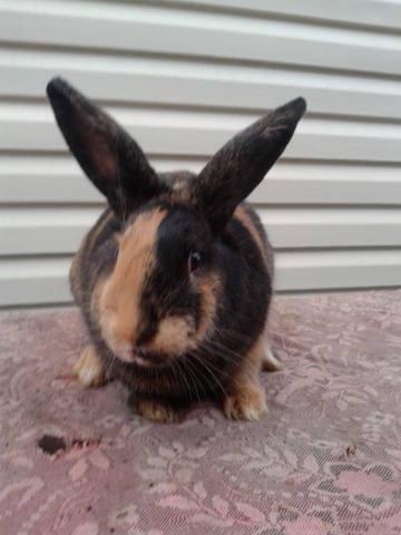 Кролик породы Японский - Страница 2 3642239_m
