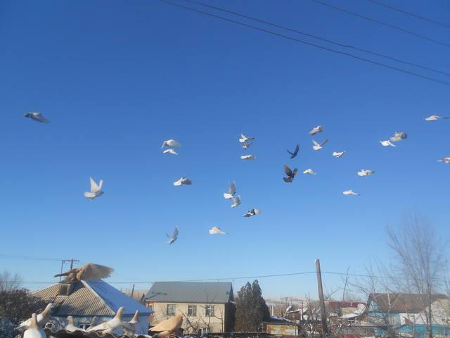 Голуби Асхата (Талдыкорган) - Страница 2 3696548_m