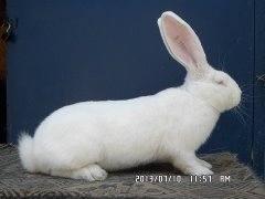 Кролики великаны. 3780621_m