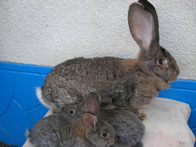Бельгийский Великан(Обр,Ризен,Фландр) Кролики гиганты.часть 2 - Страница 37 3814130_m