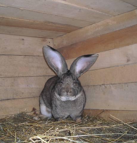 Бельгийский Великан(Обр,Ризен,Фландр) Кролики гиганты.часть 2 - Страница 38 3820655_m