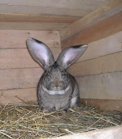 Бельгийский Великан(Обр,Ризен,Фландр) Кролики гиганты.часть 2 - Страница 38 3820656_m