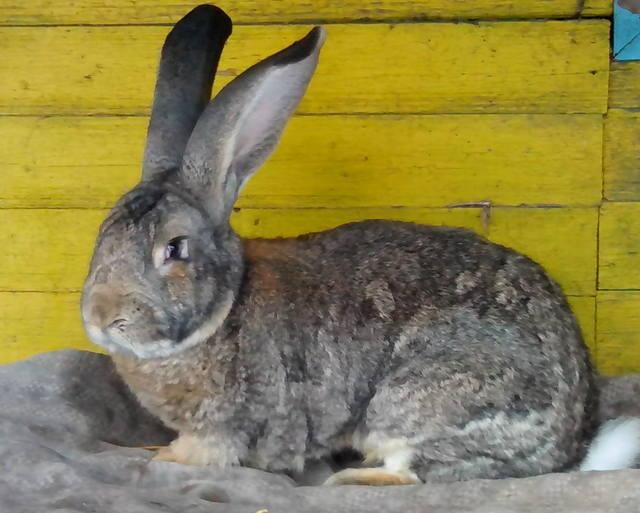 Бельгийский Великан(Обр,Ризен,Фландр) Кролики гиганты.часть 2 - Страница 38 3821892_m
