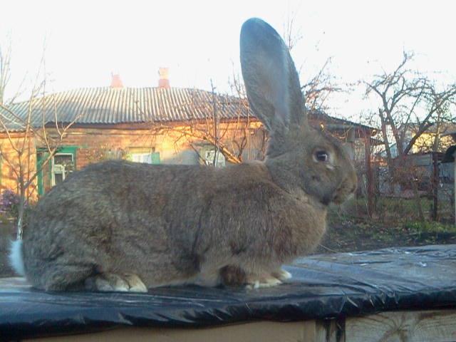 Бельгийский Великан(Обр,Ризен,Фландр) Кролики гиганты.часть 2 - Страница 39 3828691_m